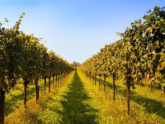Vinogradi porasli s travo